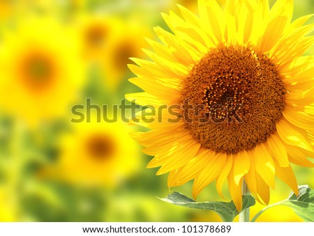 Bright yellow sunflowers - stock photo