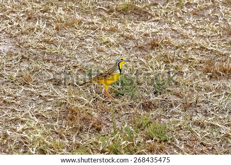 Bright Yellow throated long claw Bird - stock photo