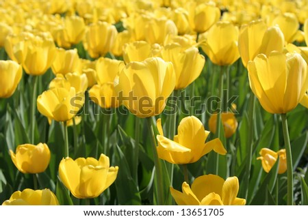 Bright yellow tulips in a Moscow park - stock photo