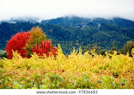 Bright yellow vineyard typical to Napa and Sonoma valleys. With deep green forests and mountains in the back. - stock photo