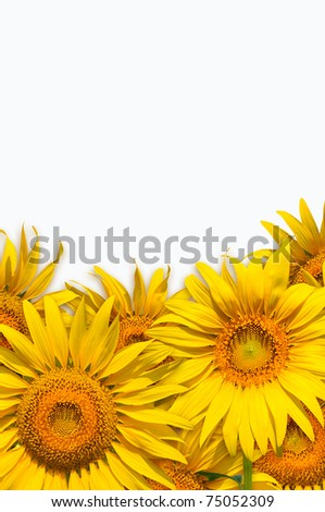 Bright yellow wild sunflowers isolated on the white background. - stock photo