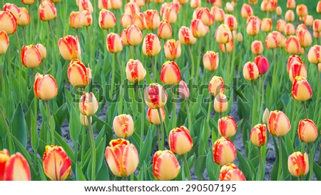 Bright yellow with red tulips - stock photo