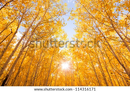 Brightly Colored Aspen Trees in Autumn - stock photo
