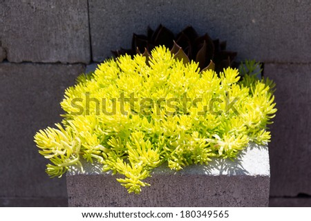 Brightly colored succulents growing in brick making a novelty plant pot. - stock photo