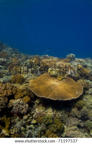 Brightly coloured coral reef crest, dominated by a large table coral (Acropora). Taken in the Wakatobi, Indonesia.