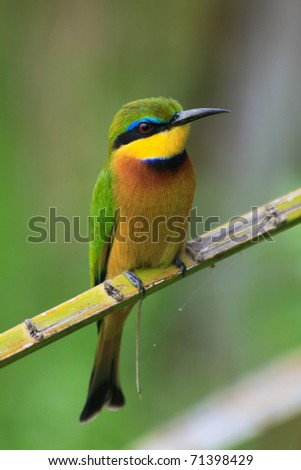 Brightly coloured little bee eater perches on a slender palm branch