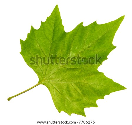 brightly green maple leaf isolated on a white background - stock photo