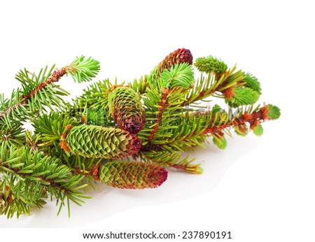 Brightly green prickly branches of a fir-tree isolated on a white background  - stock photo