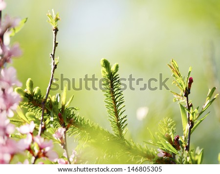 Brightly green prickly branches of a fur-tree or pine and flowers cherry