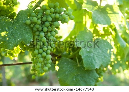 Brightly lit grapes on grapevine in a vineyard - stock photo