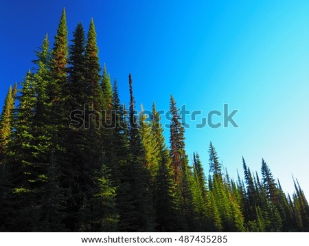 Brightly Lit Pine Tree Forest Against Blue Sky
