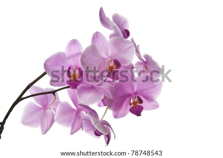 Brightly pink inflorescence of an orchid on a white background - stock photo