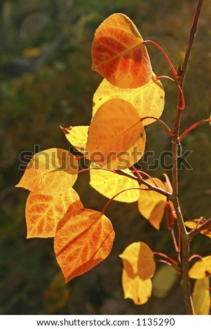 Brilliant autumn aspen leaves in the Sandia mountains of central New Mexico. - stock photo