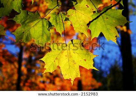 Brilliant autumn leaves - stock photo