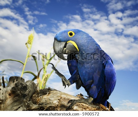 Brilliant blue hyacinth macaw with a yellow ring around its eye. - stock photo