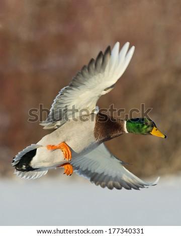 Brilliant Drake Mallard Duck - stock photo