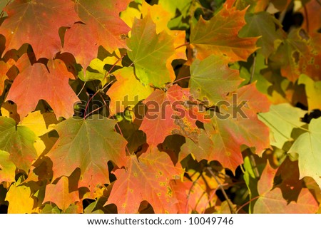 Brilliant fall background of maple leaves