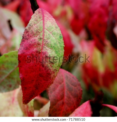 Brilliant fall leaves - stock photo