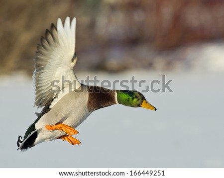 Brilliant Mallard Duck flying in the morning sun - stock photo