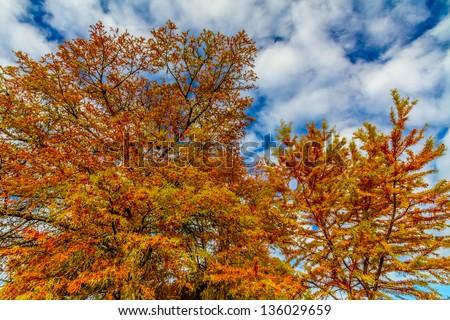 Brilliant Orange Fall Foliage on a Bald Cypress Tree in Texas.  Fall or Autumn Background. - stock photo