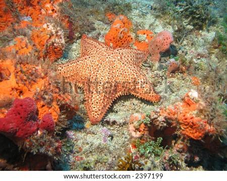 Brilliant orange starfish - stock photo