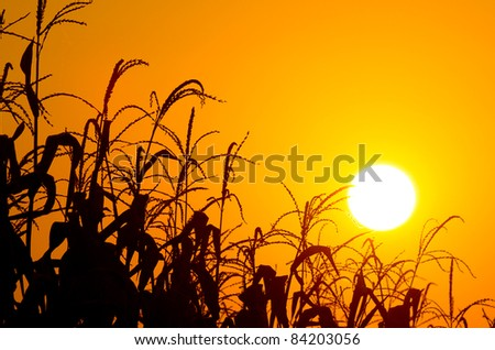 Brilliant orange sunrise over a Corn field in Iowa, with a bright yellow sun on a cool fall morning. - stock photo