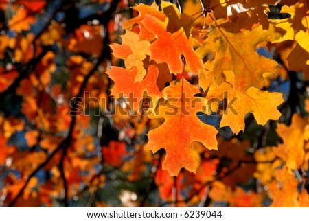 Brilliant Red Autumn Oak Leaves - stock photo