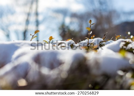Brilliant  trees leaves sprout up from snow covered - stock photo