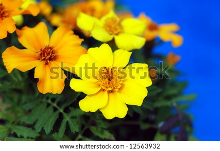 Brilliant yellow and orange marigold flowers poolside creating a vibrant color contrast - stock photo