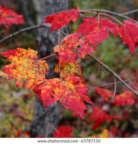 Brilliantly colored maple leaves in fall - stock photo
