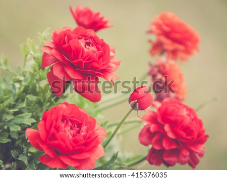 Brilliantly colored red and orange flowers called Ranunculus are attractive, delicate and the petals are of crepe paper consistency in a warm vintage setting