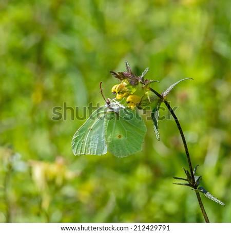Brimstone Butterfly on Yellow Rattle - stock photo