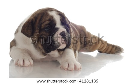 brindle and white english bulldog puppy - 4 weeks old