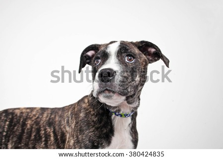 Brindle and white pitbull terrier mix puppy dog portrait isolated - stock photo
