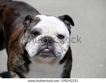 Brindle and white senior English Bulldog looking at the camera - stock photo