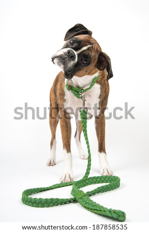 Brindle Boxer Dog Wearing Green Collar and Leash Waiting for Walk - stock photo