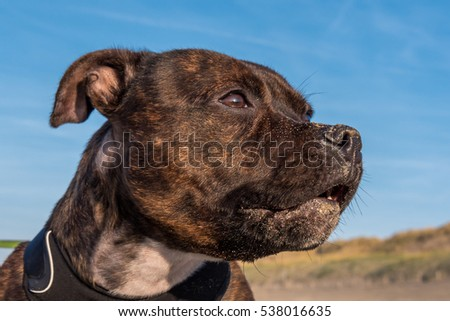 Brindle English Staffordshire Bull Terrier dog is standing at the beach. The little dog has sand on her muzzle.