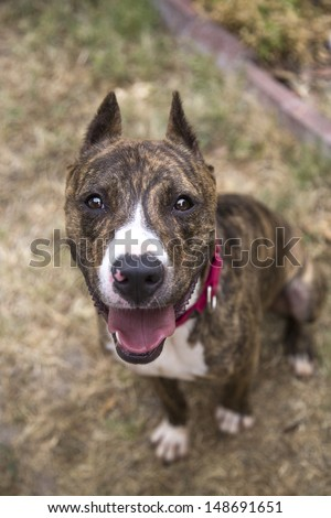 Brindle pitbull with cropped ears looking up for her portrait - stock photo