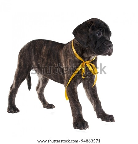 Brindled bullmastiff puppy standing isolated - stock photo