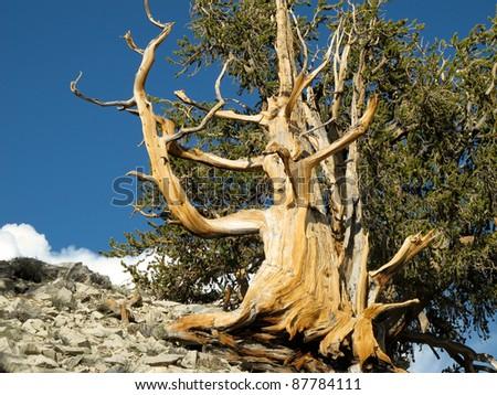 Bristlecone Pine - stock photo