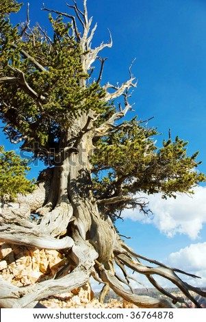 Bristlecone pine tree in a remote area of southern Utah. - stock photo