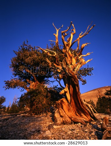 Bristlecone Pine Trees located in the Patriarch Grove section of the Inyo National Forest, California. - stock photo