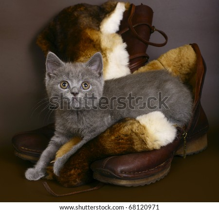 British blue cat on a brown background with boots. - stock photo