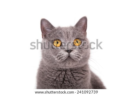 British blue cat on a white background. Close-up. - stock photo