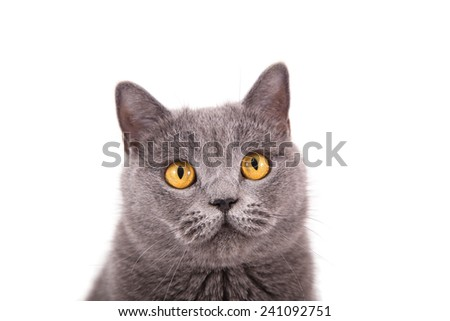 British blue cat on a white background. Close-up.