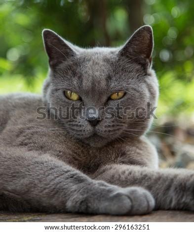 British blue cat portrait. - stock photo