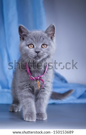 British blue kitten - stock photo