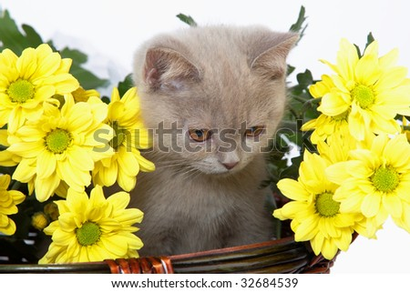British blue kitten in basket with yellow flowers
