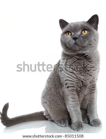 British blue short-hair cat on white background with reflections. - stock photo