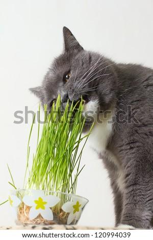 British breed gray cat eats the green shoots of wheat - stock photo